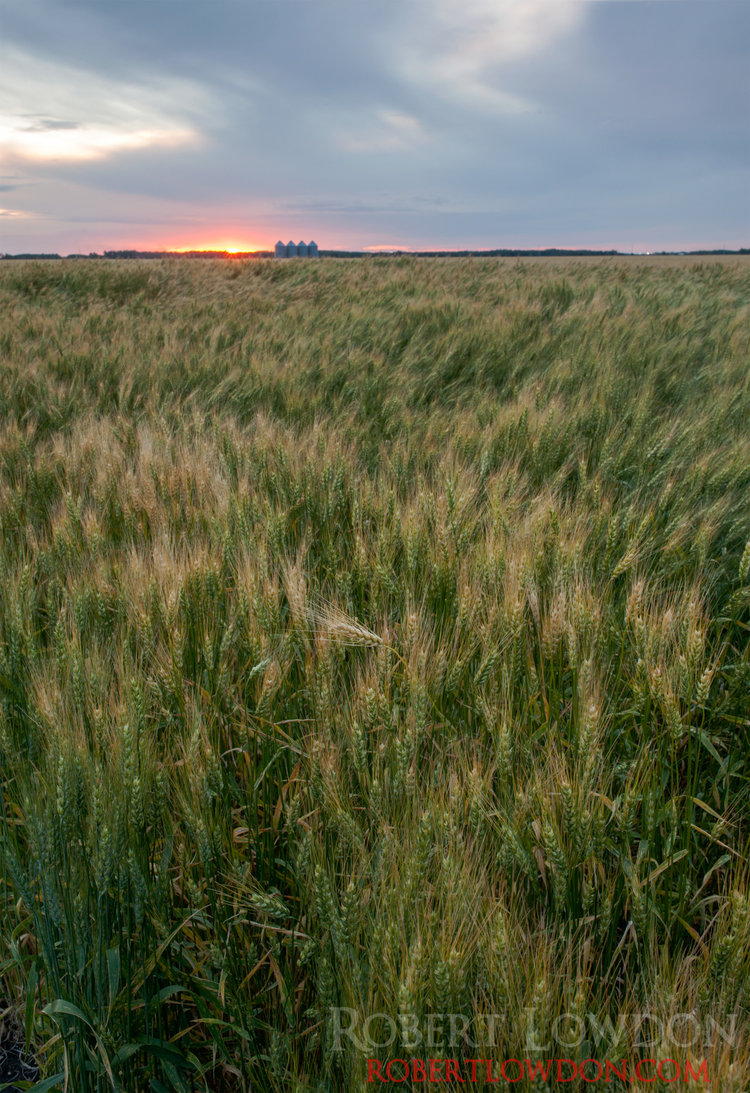 Wheats in the Wind.  Photograph of wheat flowing in the wind Southern Manitoba