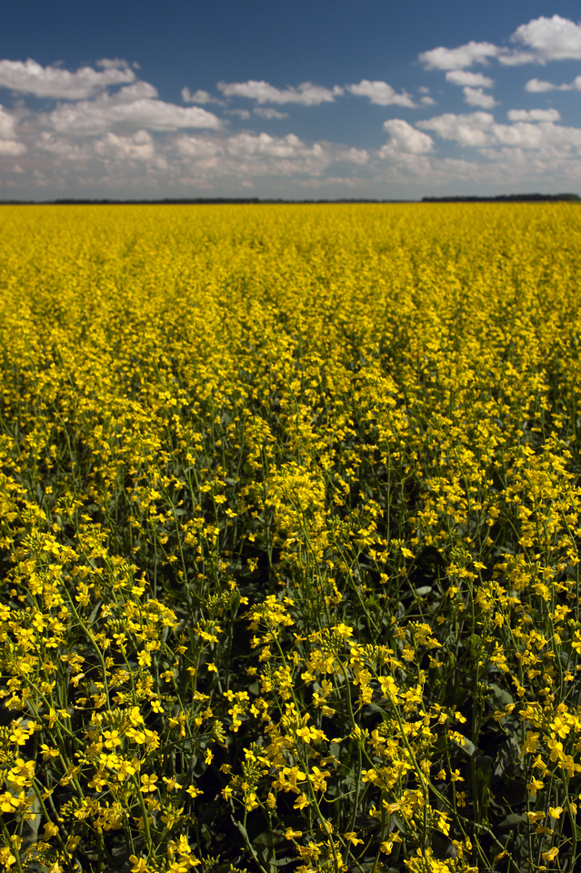 Canola.  Fields of Canola in Southern Manitoba.