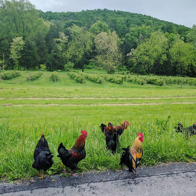 I waited for some handsome roosters to cross the road on the way home from a Beautiful Soup ingredient run at J and L Green Farm. 🐓 #realfood #eatlocal #nofarmsnofood #pickyourown #paleo #bonebroth #eatclean #wapf #farmlife #jlgreenfarm
