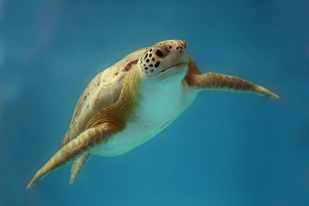 SEA TURTLE INC. - Sea Turtle Rescue & Conservatory