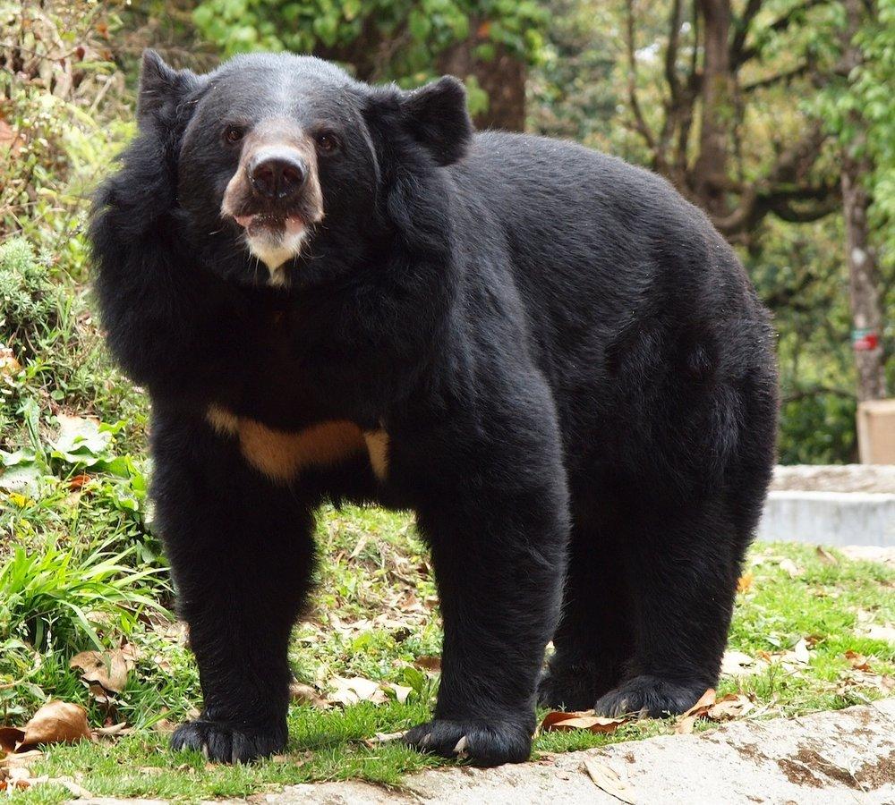 Abbildung       SEQ Abbildung \* ARABIC     2     Kragenbär (Ursus thibetanus). Urheber: Von Mopop - Black bear, Darjeeling zoo, croppedUploaded by Mariomassone, CC BY 2.0, https://commons.wikimedia.org/w/index.php?curid=18152449