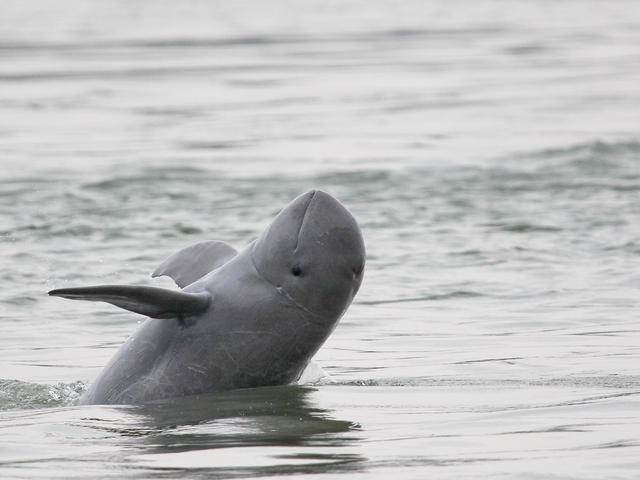 Video about biopsy sampling Irrawaddy dolphins in the Mekong River, Cambodia (Photo Copyright WWF).  https://vimeo.com/69944216