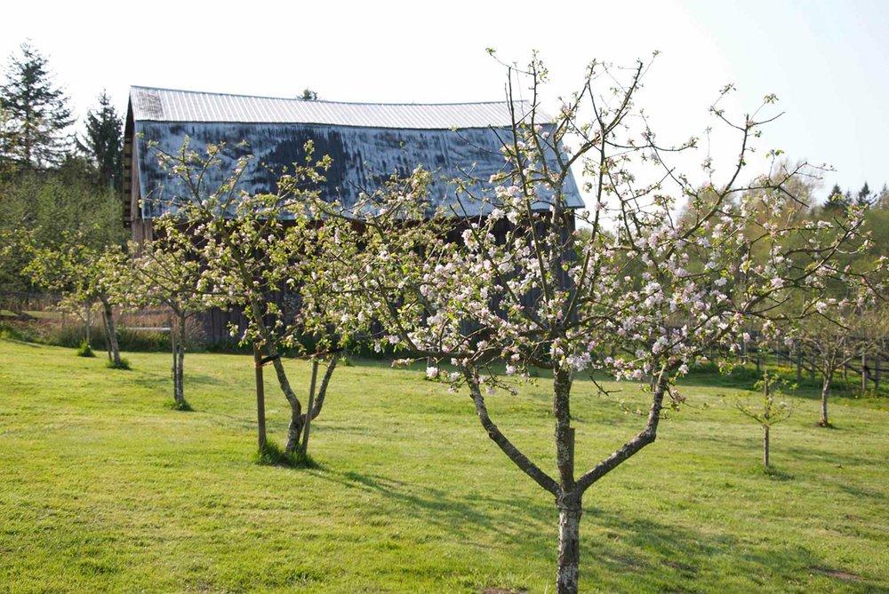 Lee-Murphy---DSC_0002-apple-blossoms.jpg