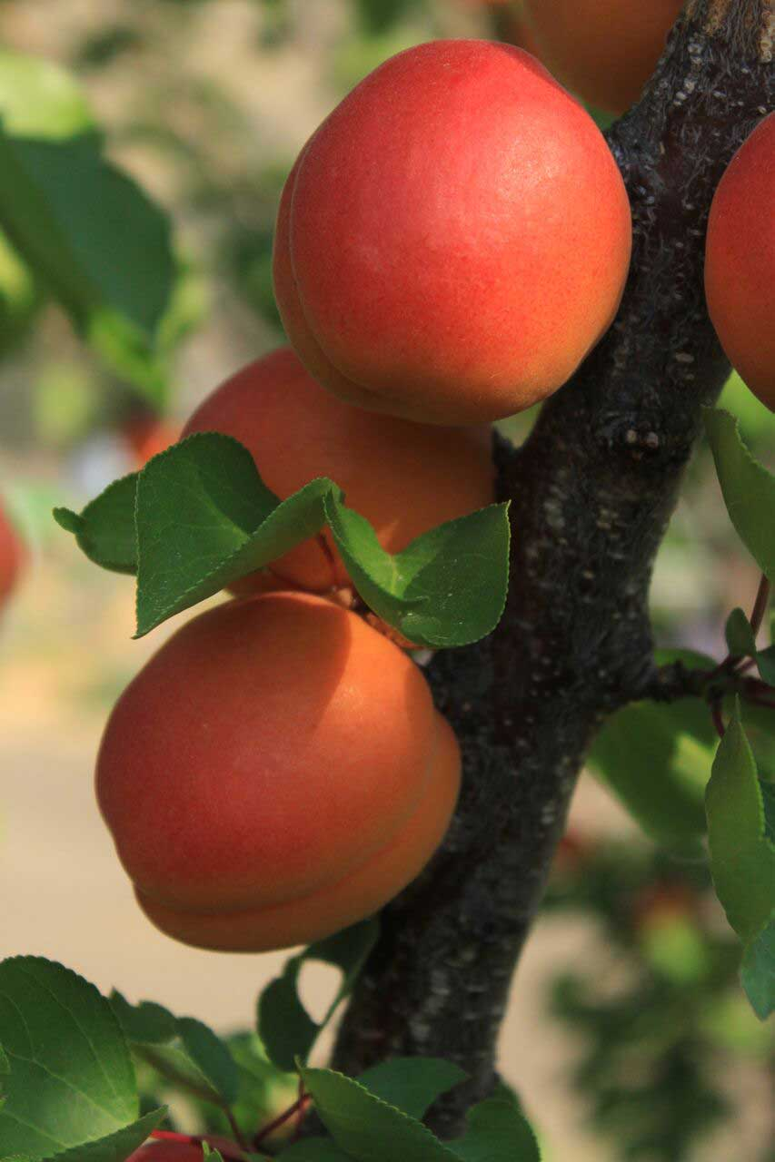TTM-Apricots.jpg
