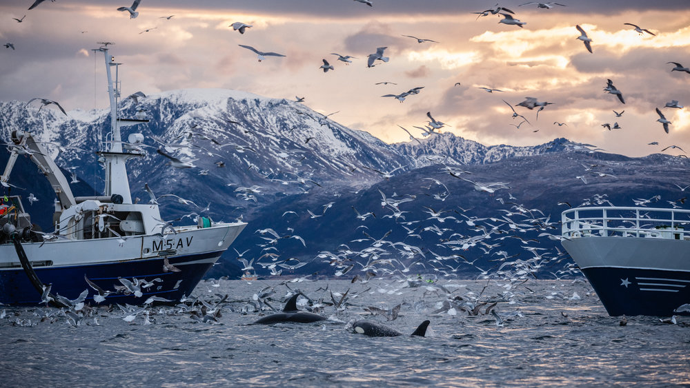Orcas and birds feast on herring as fisherman scramble to catch the fish before they disappear.