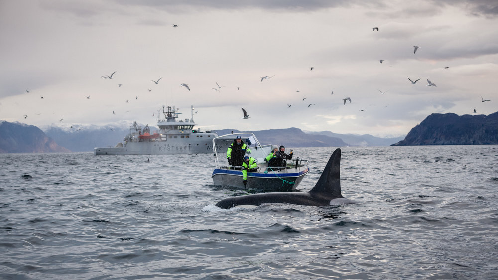 A random whale watching boat for a little size perspective. That's a male Orca.