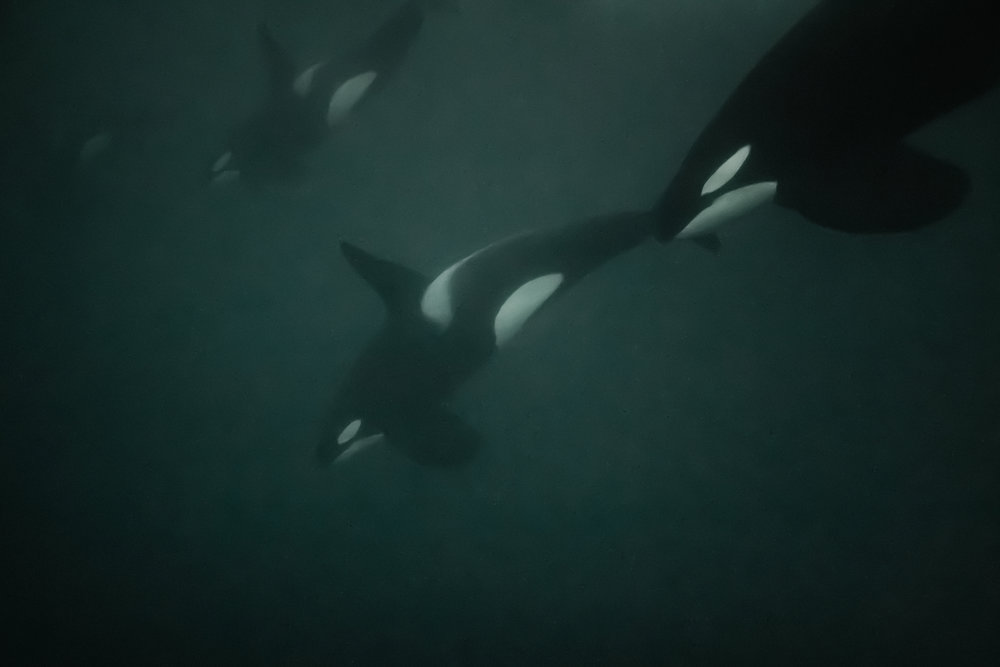Four male Orcas dive down into the depths