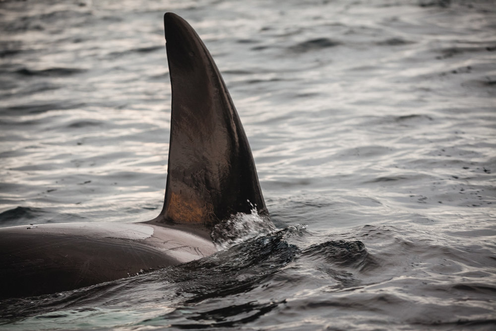 The iconic Orca dorsal fin slices through the water, catching the golden arctic light of winter