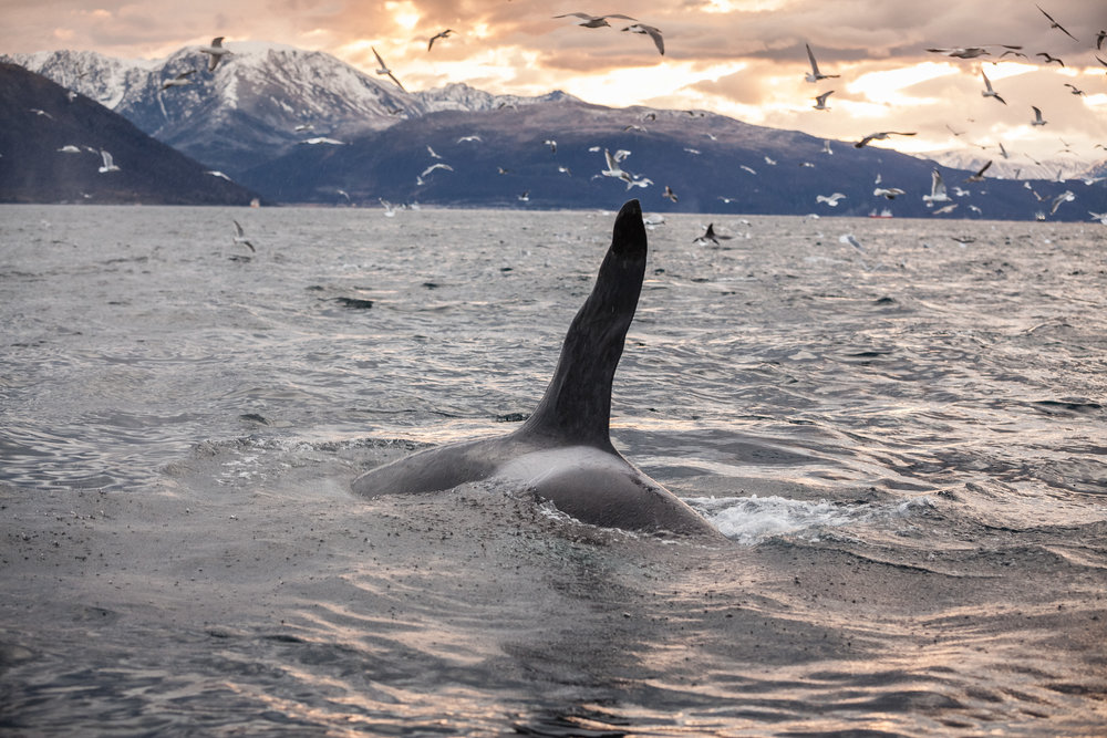 These abnormalities in the dorsal fin make identification of these individuals much easier!