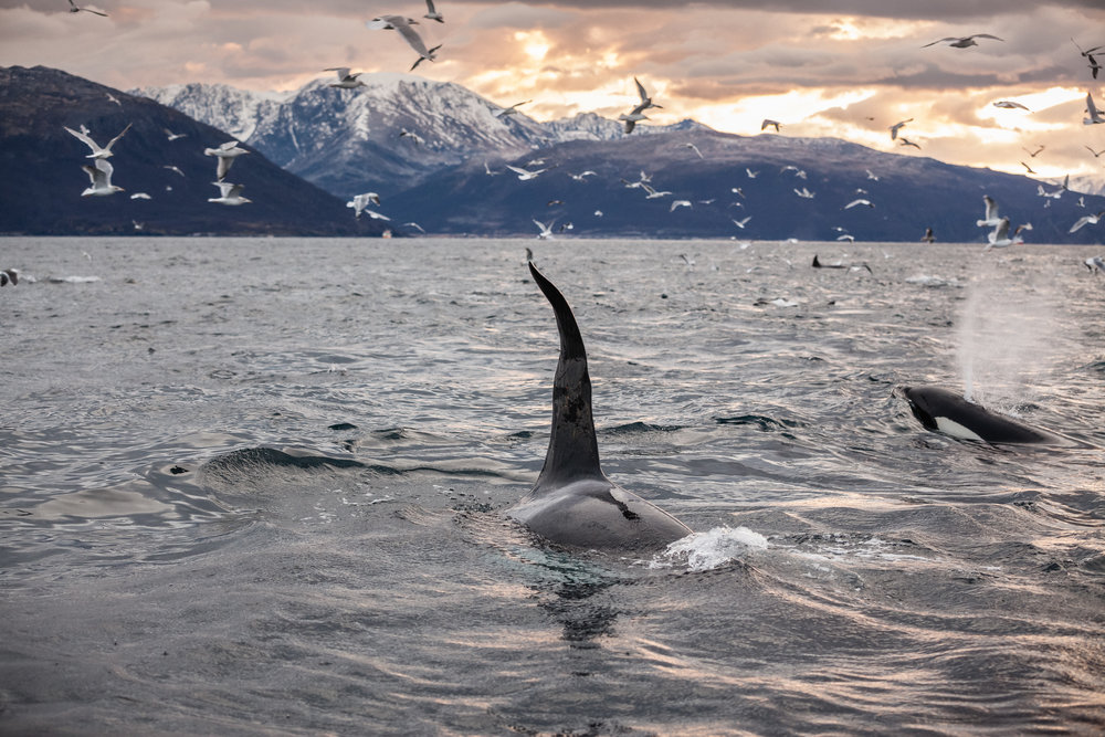 I love the sound of an Orca exhale!