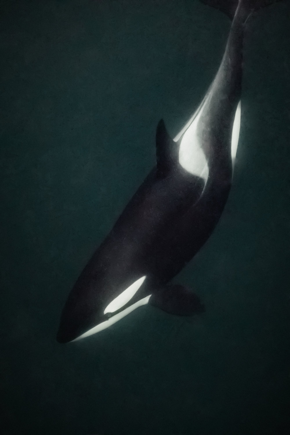One of the most incredible moments is when an Orca looks you straight in the eye!