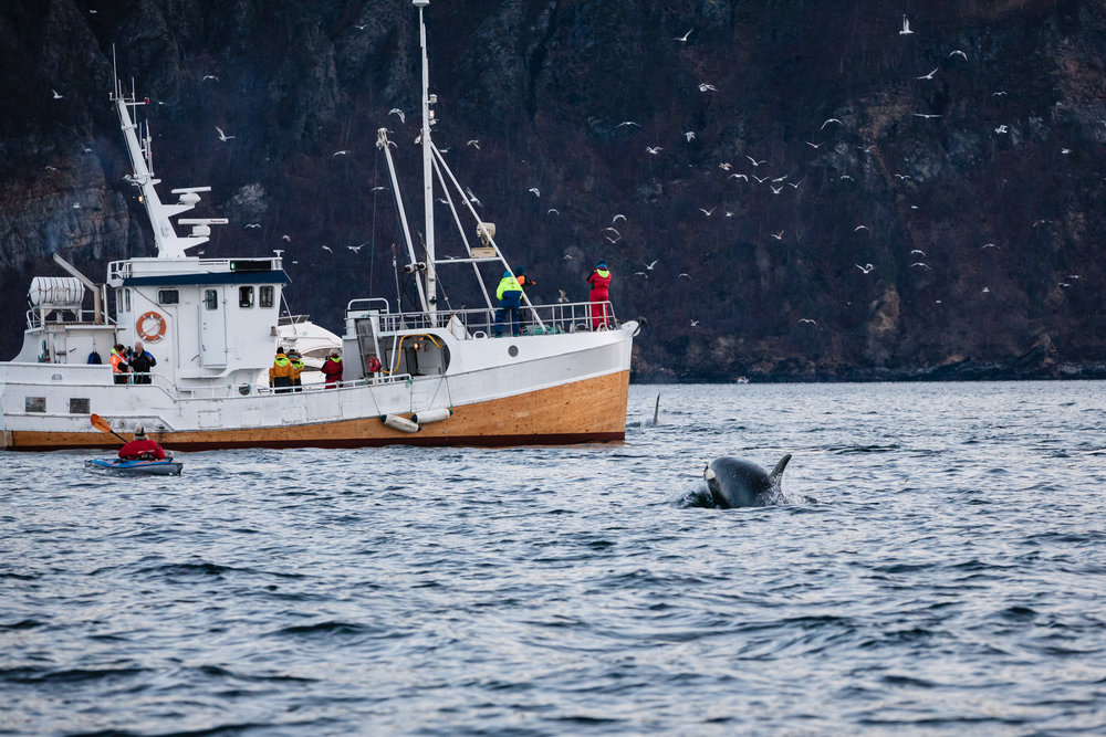 The pod was porpoising with joy as they raced across the fjord