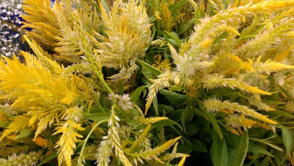 Celosia plumosa  Seasonal