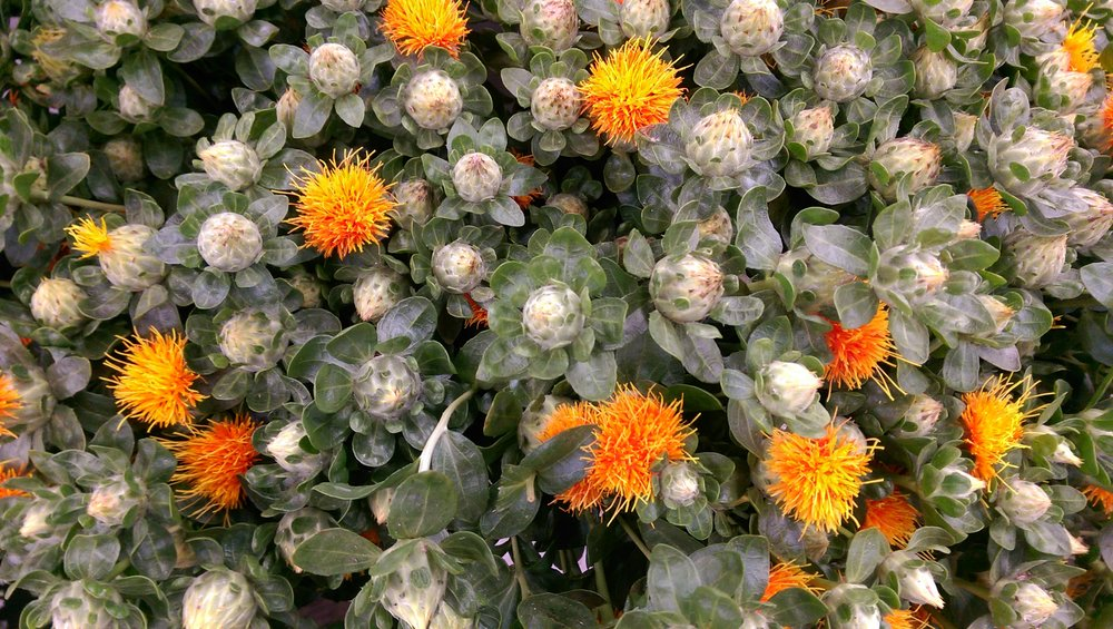 Safflower  Seasonal