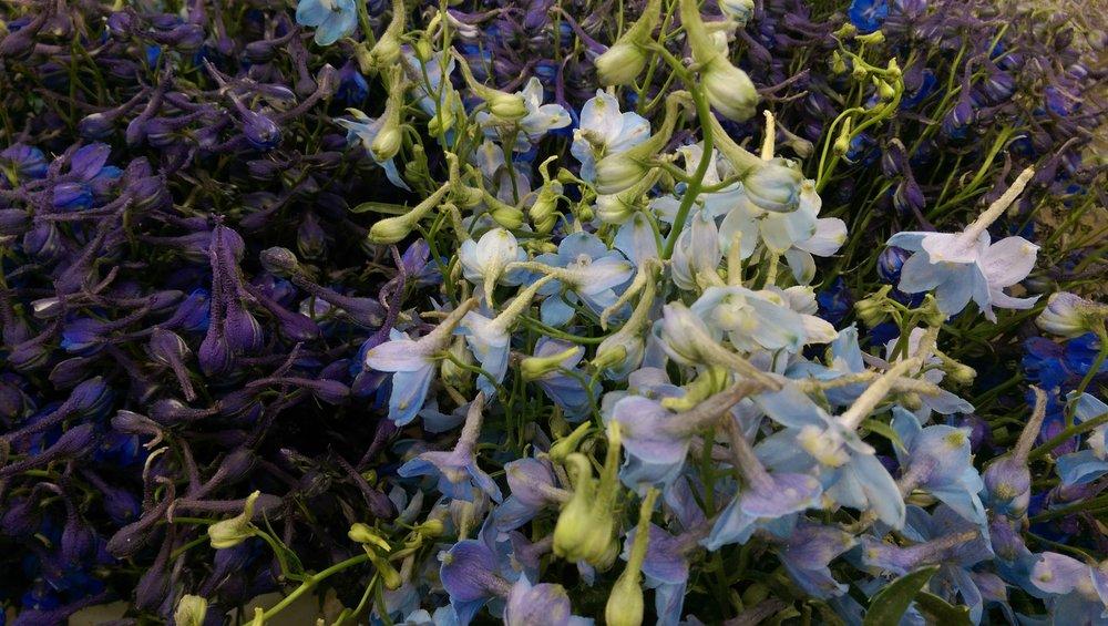 Delphinium Belladonna  Year round