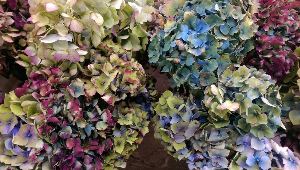 Local Antique Hydrangea  Seasonal
