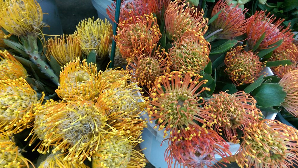 Pin Cushion Protea  Year round
