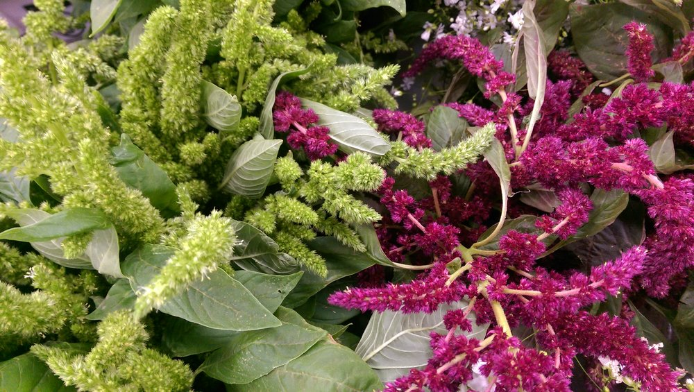 Upright Amaranthus (short)  Seasonal
