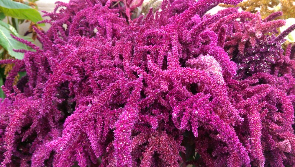Burgundy Amaranthus (medium)  Seasonal