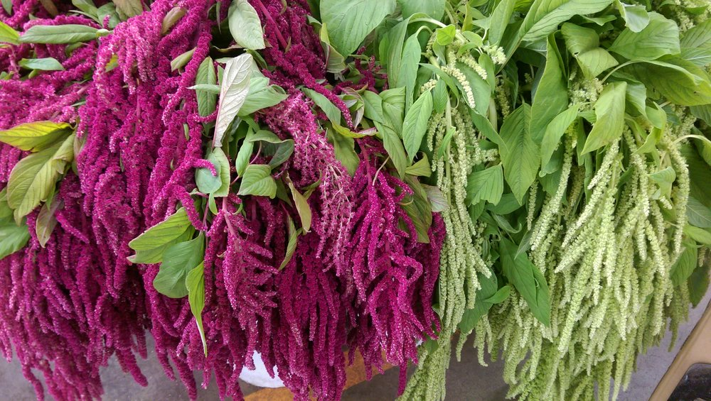 Hanging Amaranthus Green/Red  Year round