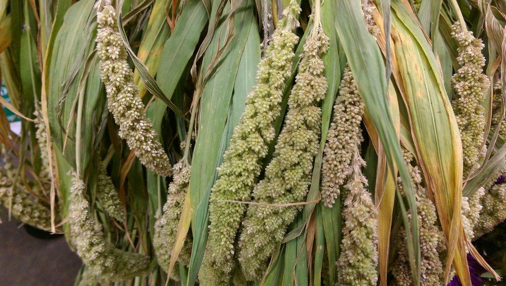 Millet  Seasonal