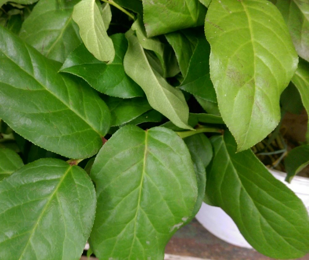 Lemon Leaf (Salal)  Year round