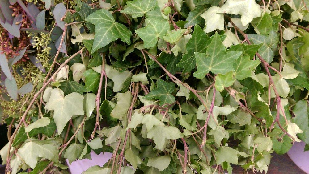 Ivy  Year round