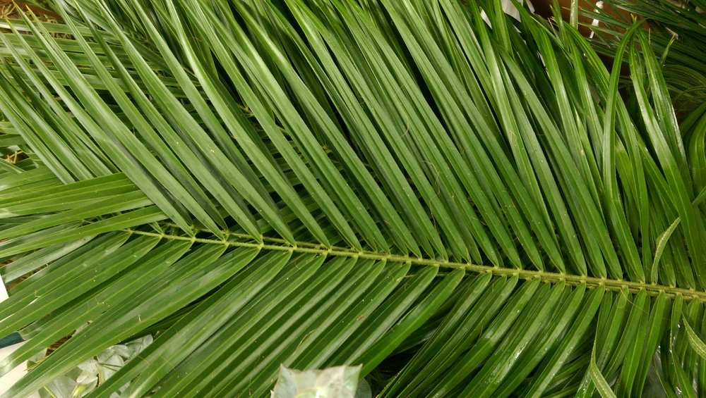 Robellini Palm Leaf  Year round