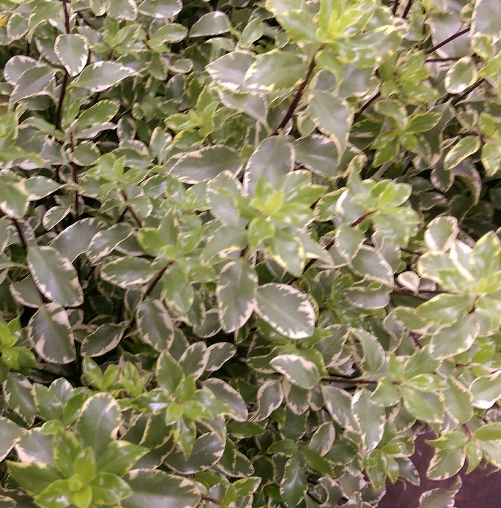 Italian Pittosporum  Year round