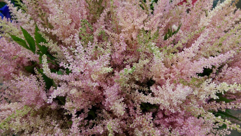 Astilbe  Seasonal