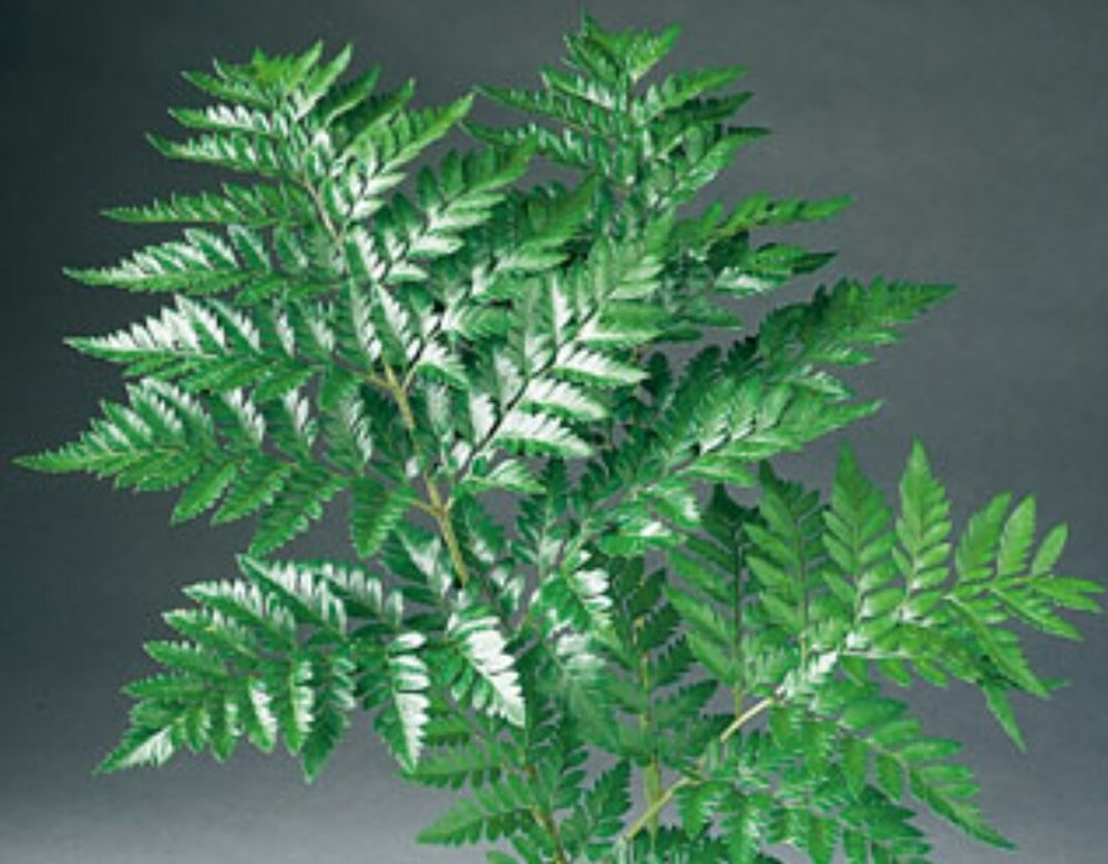 Leather Fern  Year round