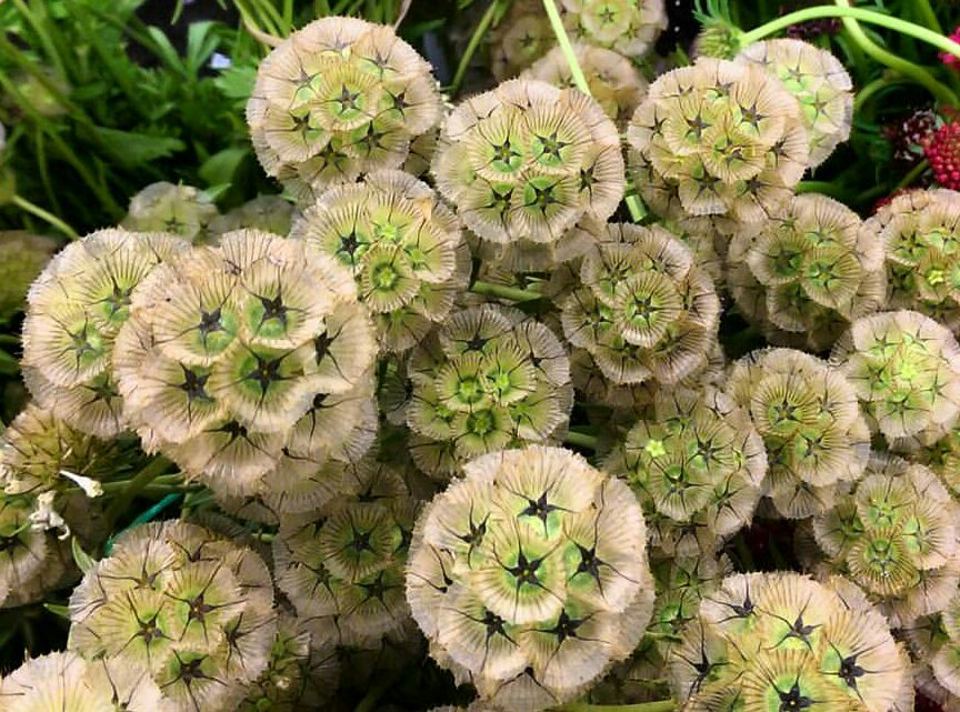 Scabiosa Cosmos  Seasonal