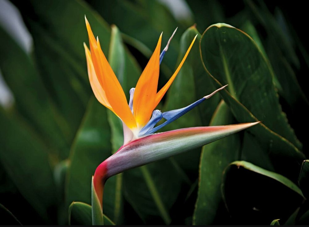 Bird Of Paradise  Seasonal