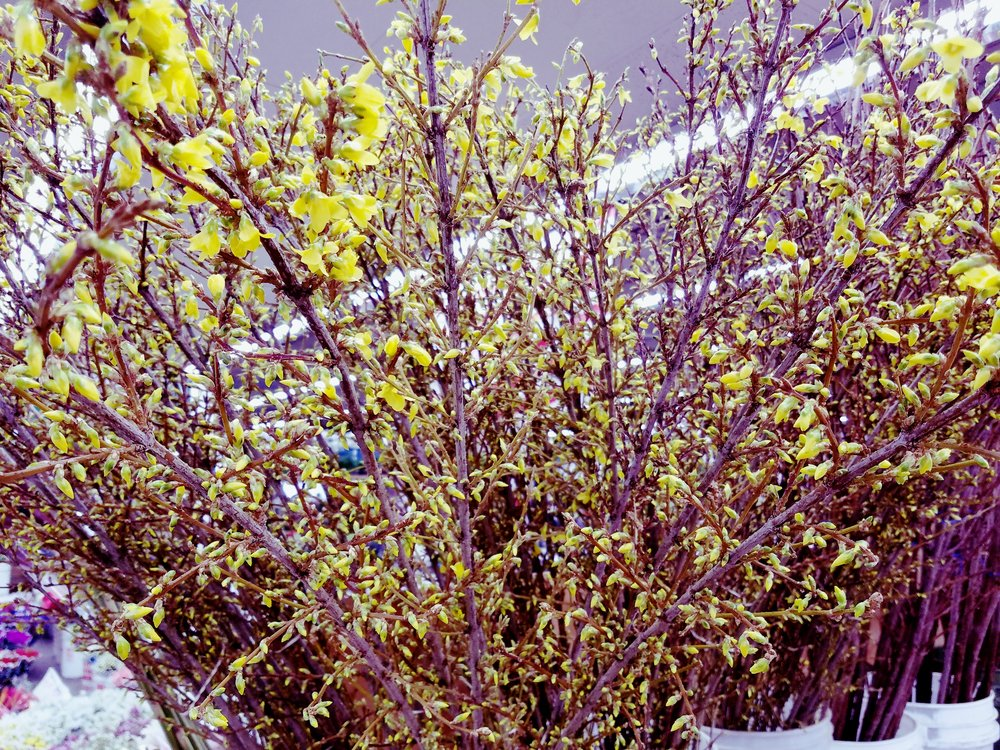 Forsythia  Seasonal
