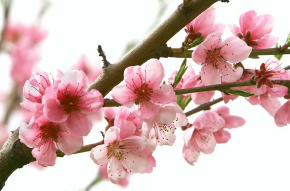 Peach Blossoms  Seasonal