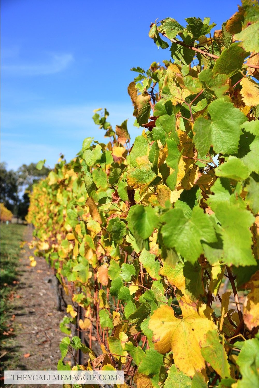 winery-vines.jpg