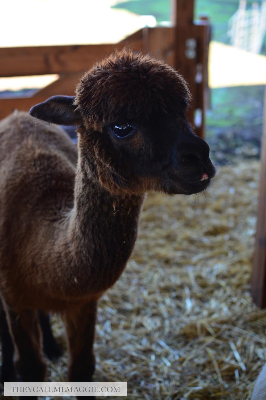 alpaca-cute.jpg
