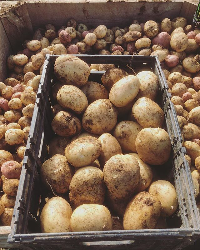 We're amid potato harvest 🥔 Spuds all day every day!  #potato #spud #grow #harvest #thankafarmer #farm #gippsland