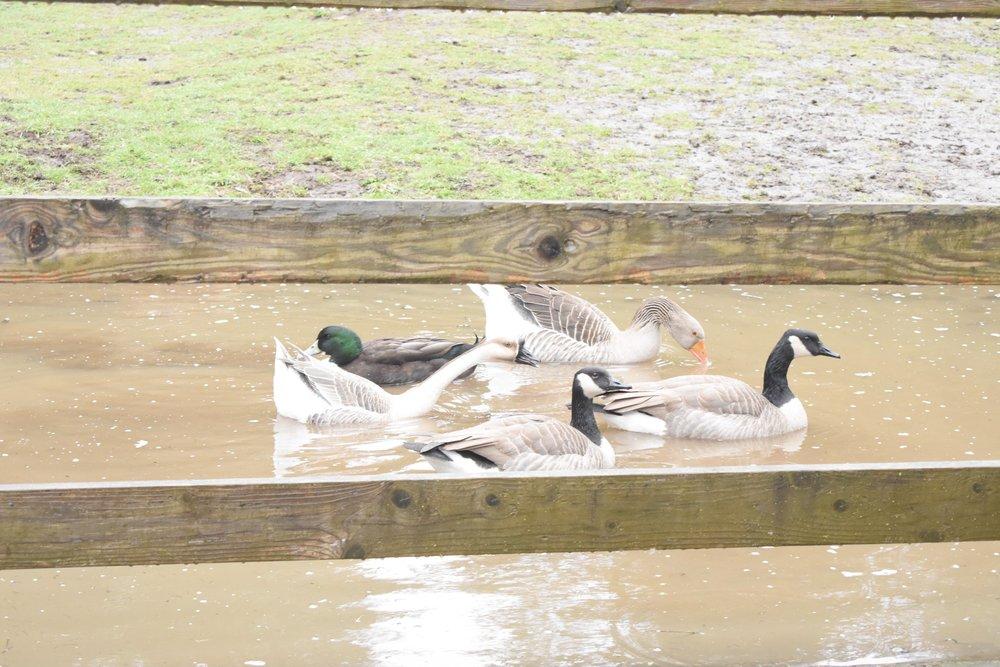 ducks-at-corbett-farms