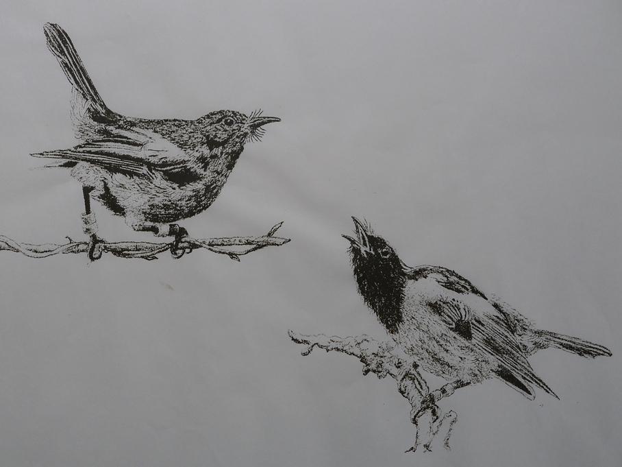 hihi stitchbird