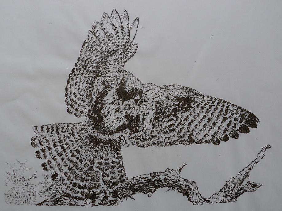 karearea falcon