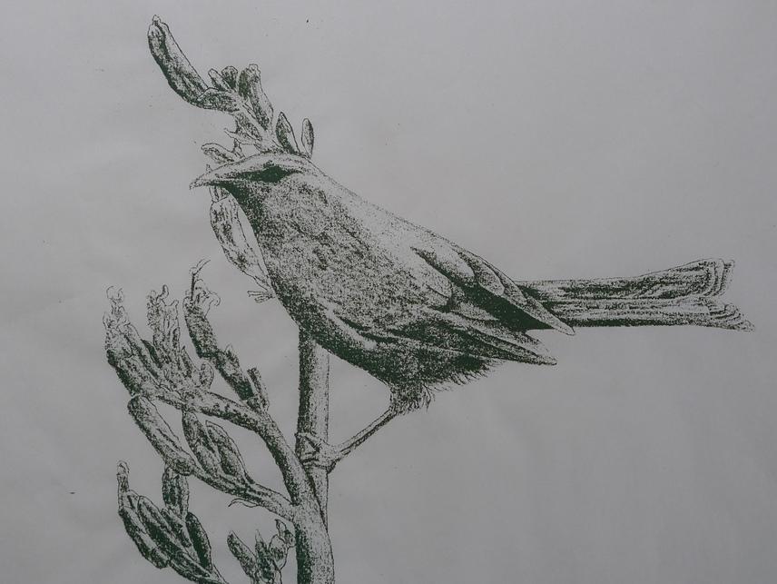 korimako bellbird