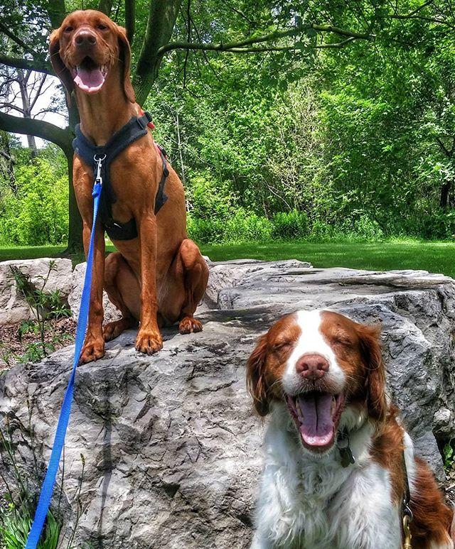 Happy Canada Day!  #torontodogs #torontolife #torontodogwalker #the6ix #dogsofinstgram #dogs #dog #brittanyspaniel #brittanyspanielsofinsta #spaniel #spaniels #spanielsofinstagram #vizsla #vizslasofinstagram #hungarianvizsla #magyarvizsla #pointer #summer #canada #canadaday