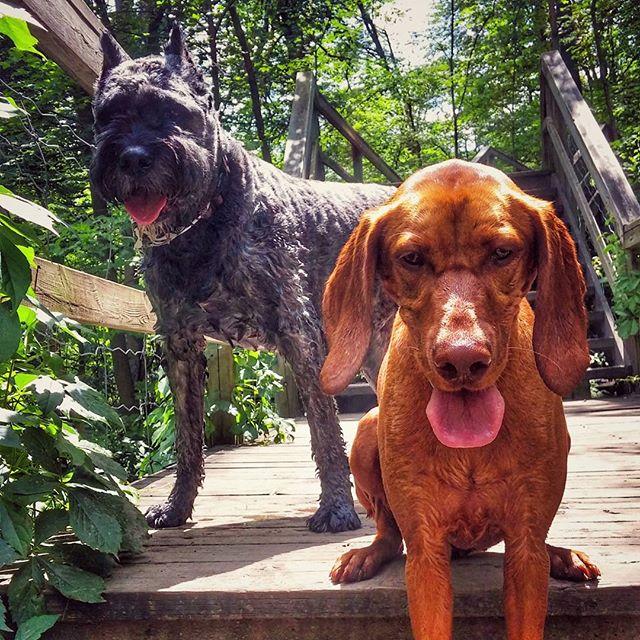 A very special guest appearance by Toby!  #torontodogs #torontodogwalker #torontolife #the6ix #dogsofinstgram #dogsoftoronto #dogs #dog #vizsla #vizslasofinstagram #hungarianvizsla #bouvierdesflandres #bouvier #summer #nature