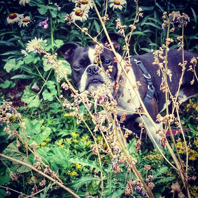 Bentley in his element.  #torontodogs #torontolife #torontodogwalker #dogwalker #the6ix #dogsofinstgram #dogs #dog #bostonterrierlove #bostonterrier #terrier #summer #nature
