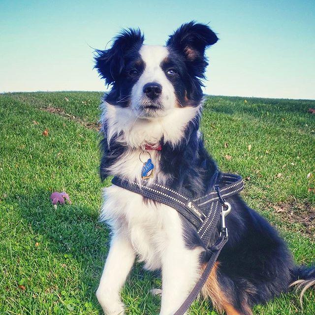 Welcome to Tully & Co., Bernie!  #torontodogs #torontolife #torontodogwalker #dogs #australianshepherd #miniaustralianshepherd
