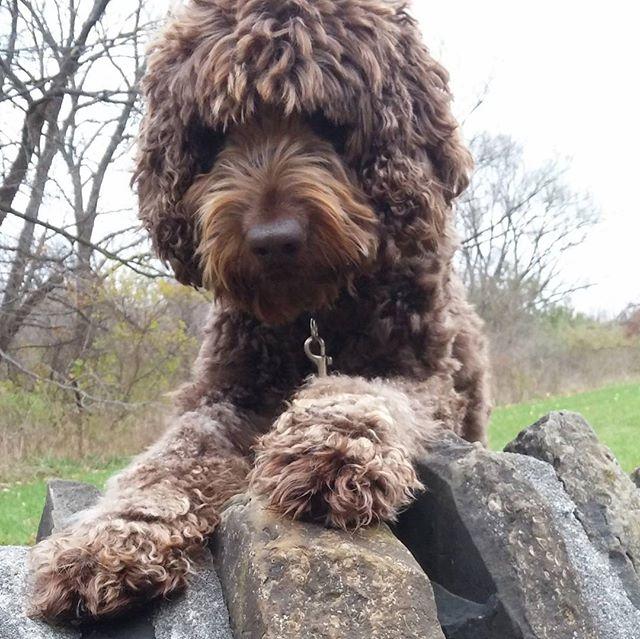 Got stuck behind a wall.  Awww😂 #torontodogs #torontodogwalker #torontolife #dogsofinstgram #dogs #dog #labradoodle