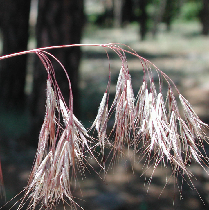 Fully mature cheatgrass seed heads