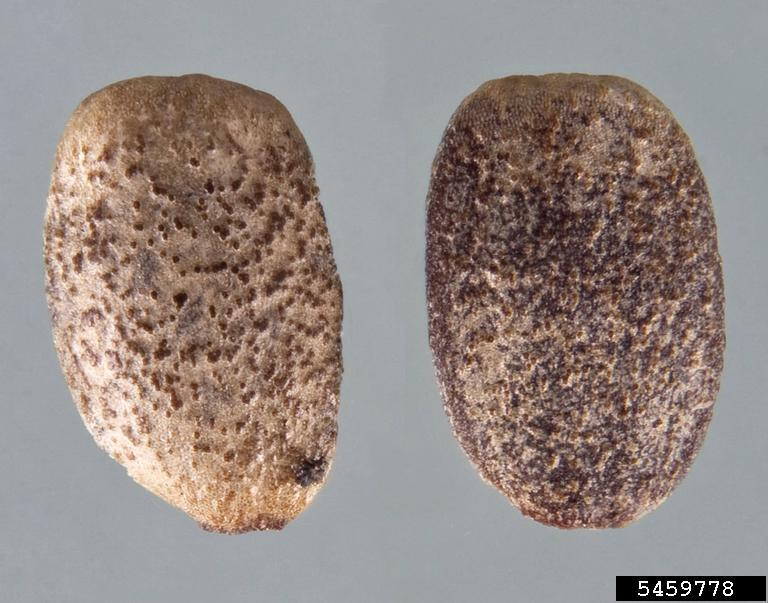 Horehound nutlets