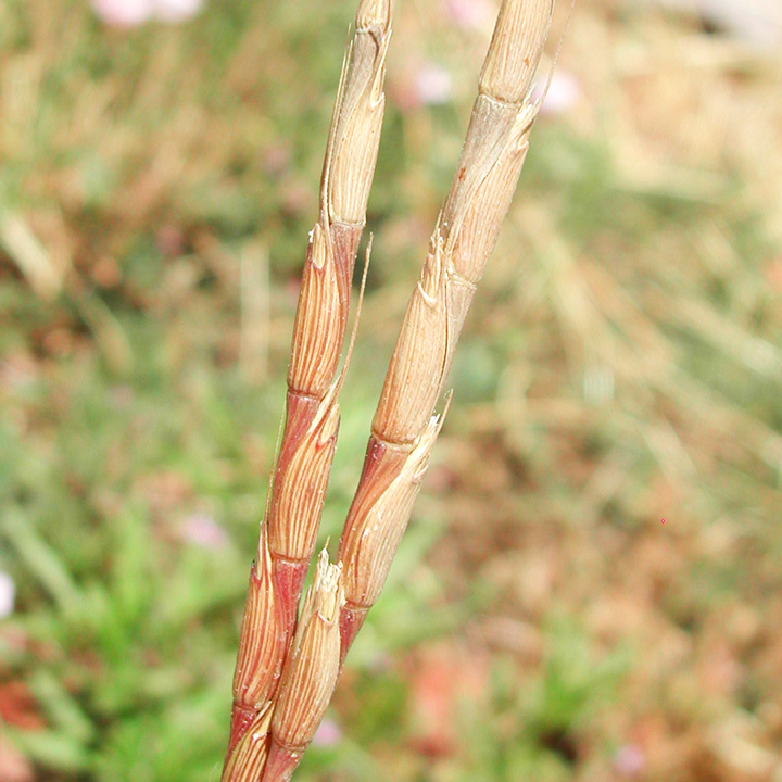 Jointed goatgrass flowers and joints